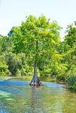佛罗里达塞浦路斯树在天然泉 库存图片