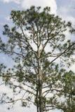 佛罗里达杉树 库存图片