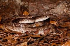 佛罗里达松蛇 免版税库存图片