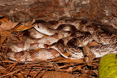 佛罗里达松蛇 免版税库存照片