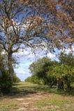 佛罗里达桔子树丛 图库摄影