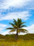 佛罗里达棕榈树 库存照片