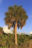 佛罗里达棕榈树 图库摄影