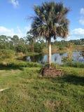 佛罗里达棕榈 免版税库存图片