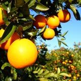 佛罗里达橙色树丛风景 免版税图库摄影