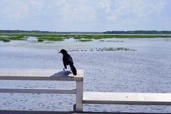 佛罗里达沼泽、鸭子和乌鸦 免版税图库摄影