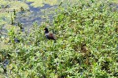 佛罗里达沼泽和鸭子 免版税图库摄影