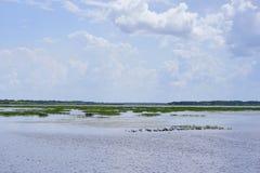 佛罗里达沼泽和鸭子 库存照片