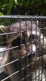 佛罗里达浣熊 库存照片