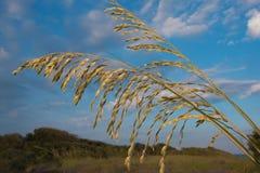 佛罗里达海燕麦特写镜头 免版税图库摄影