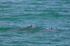 佛罗里达海豚 库存照片