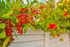 佛罗里达热带红色莓果本质上 库存图片