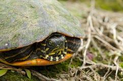佛罗里达红鼓起了乌龟特写镜头 免版税库存图片
