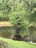 佛罗里达美洲红树树在与蓝色苍鹭鸟树的水中 免版税库存图片