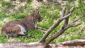佛罗里达美洲野猫 免版税库存图片