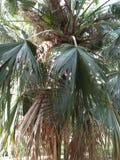 佛罗里达茅草屋顶棕榈& x28; TRINEX RADIATA& x29; 库存照片
