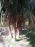 佛罗里达茅草屋顶棕榈& x28; TRINEX RADIATA& x29; 图库摄影