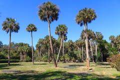 佛罗里达蓝棕棕榈树树丛  库存图片
