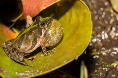 佛罗里达蟋蟀青蛙 免版税库存照片