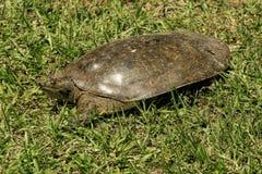 佛罗里达软的壳乌龟- Apalone ferox 免版税图库摄影