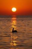 佛罗里达锁上鹈鹕日出垂直 免版税图库摄影