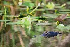 佛罗里达鳄鱼在沼泽的沼泽地 免版税库存图片