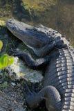 佛罗里达鳄鱼 库存照片