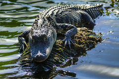 佛罗里达鳄鱼 库存图片