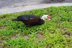 佛罗里达鸭子 库存图片
