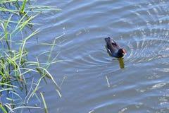 佛罗里达鸭子 免版税库存照片