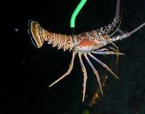 佛罗里达龙虾 库存图片