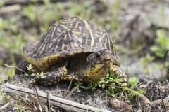 佛罗里达龟盒 免版税库存照片
