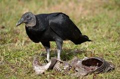 佛罗里达:与犰狳腐尸的黑雕 免版税库存照片