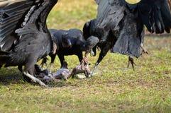 佛罗里达:与犰狳腐尸的黑雕 库存照片