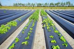 佛罗里达莴苣农场  库存照片