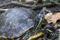 佛罗里达黑鸭乌龟(Pseudemys concinna floridana) 库存照片