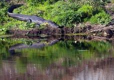 佛罗里达gator 免版税库存照片