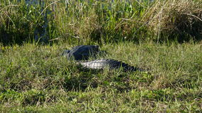 佛罗里达gator 免版税图库摄影