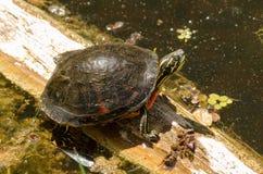 佛罗里达Redbelly乌龟(Pseudemys nelsoni) 免版税库存图片