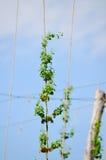 佛蒙特蛇麻草在夏天 库存图片