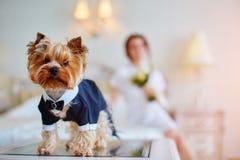 作为一个新郎穿戴的狗在新娘的卧室 有花束和白色褂子的新娘 免版税库存图片