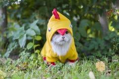 作为一只鸡穿戴的猫在庭院里 免版税库存图片