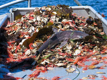 作为付渔获物鲨鱼 库存图片