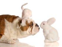 作为兔宝宝狗穿戴的复活节 免版税库存图片
