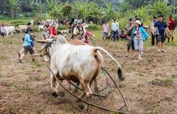 作为公牛跑掉的摄影师在Pacu Jawi公牛种族,印度尼西亚接近他们 库存图片