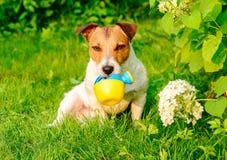 作为可笑的花匠倾吐的水的狗从喷壶 图库摄影