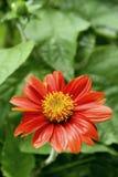 作为园林植物的菊花红色,美丽 库存照片