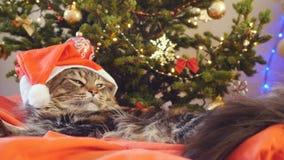 作为圣诞老人的滑稽的缅因树狸猫戴着圣诞节帽子坐枕头在一棵美丽的新年装饰的树 免版税库存图片