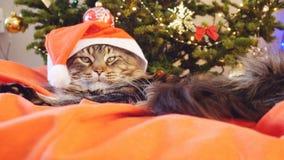 作为圣诞老人的滑稽的缅因树狸猫戴着圣诞节帽子坐枕头在一棵美丽的新年装饰的树 库存照片