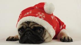 作为圣诞老人穿戴的圣诞节哈巴狗 免版税库存图片